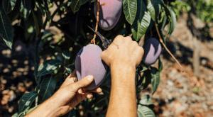 recoleccion-mango