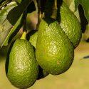 aguacate exotic fruit box